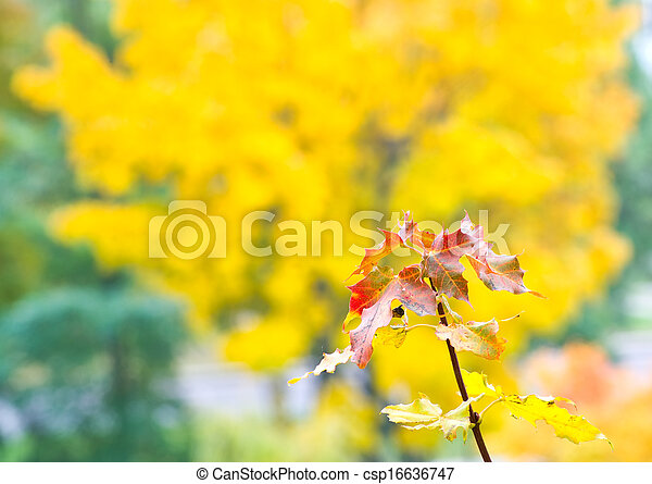 Branch of maple with yellow leaves - csp16636747