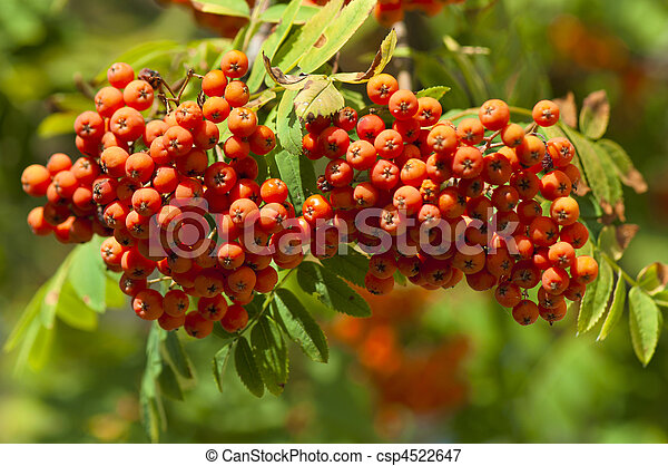 Branch of mountain ash with ripe fruits - csp4522647