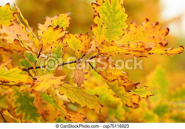 Branch of oak with autumn leaves - csp75116023