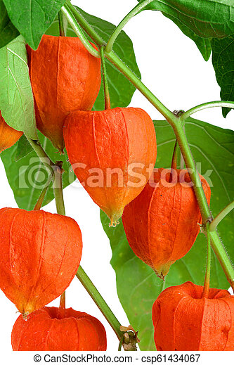 branch of physalis with leaves isolated on white background - csp61434067
