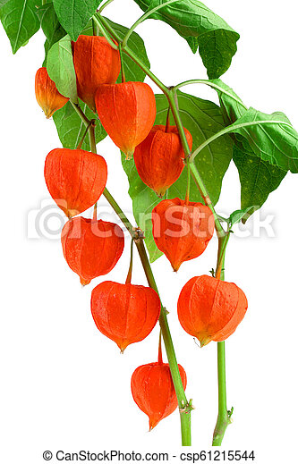 branch of physalis with leaves isolated on white background - csp61215544