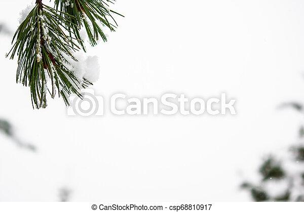 Branch of pine under snow. Winter forest - csp68810917