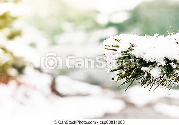 Branch of pine under snow. Winter forest - csp68811083