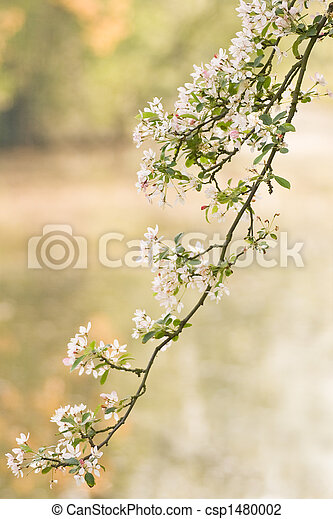 Branch of pink and white blossom in spring - csp1480002
