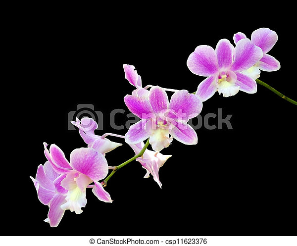 Branch of pink orchid isolated - csp11623376
