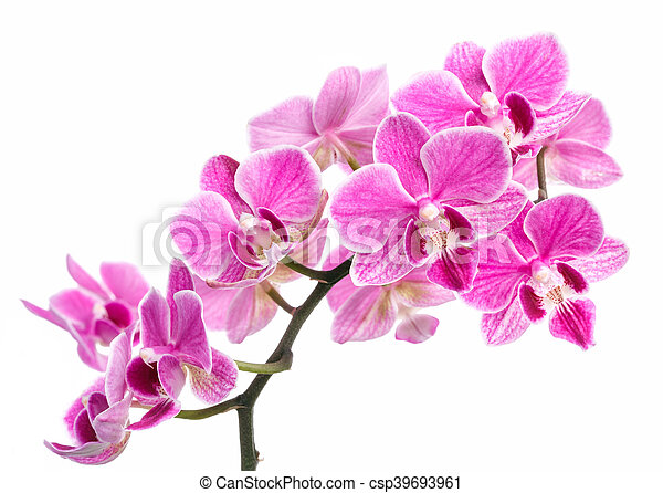 branch of pink orchids isolated on a white background - csp39693961