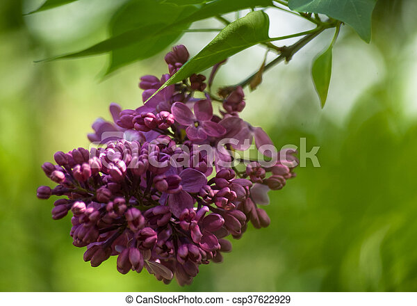 Branch of purple lilac. Floral natural background - csp37622929