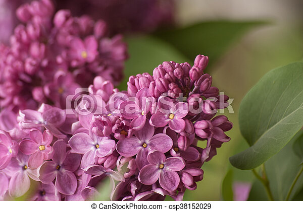 Branch of purple lilac. Floral natural background - csp38152029