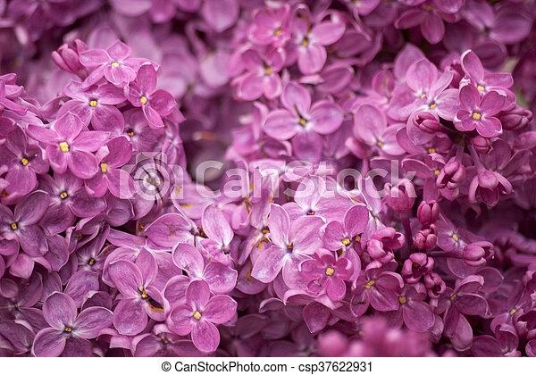 Branch of purple lilac. Floral natural background - csp37622931