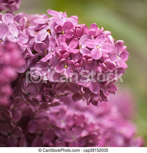 Branch of purple lilac. Floral natural background - csp38152035
