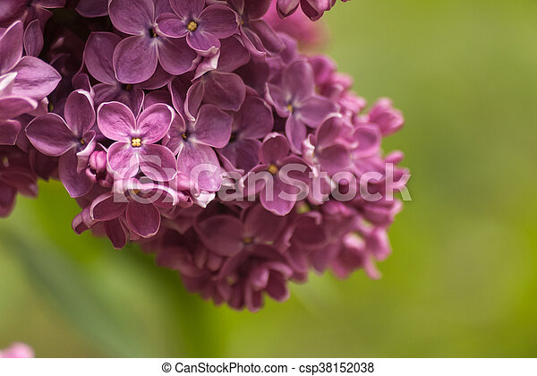 Branch of purple lilac. Floral natural background - csp38152038