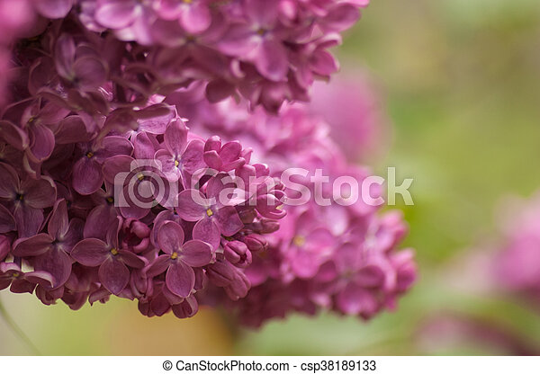 Branch of purple lilac. Floral natural background - csp38189133