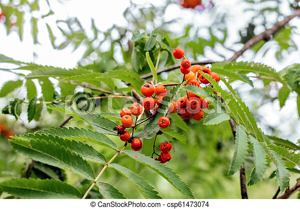 Branch of red mountain ash among the leaves - csp61473074