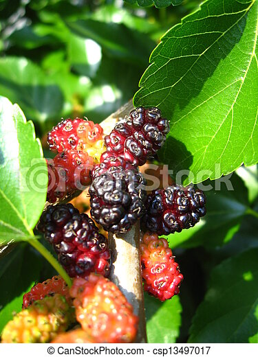 Branch of ripe mulberry - csp13497017