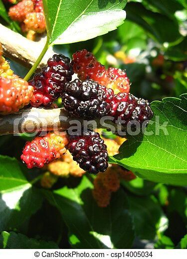 Branch of ripe mulberry - csp14005034