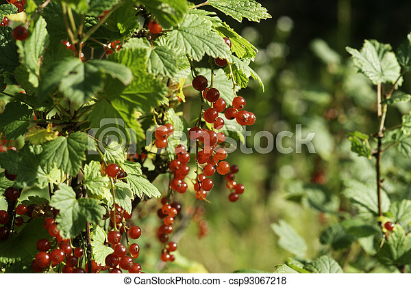 branch of ripe red currant in a garden on green background - csp93067218