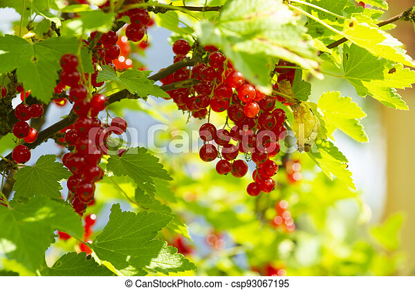 branch of ripe red currant in a garden on green background - csp93067195