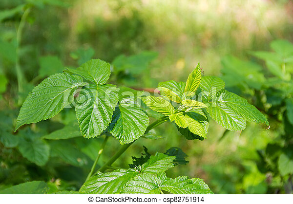 Branch of the wild raspberry in forest on blurred background - csp82751914
