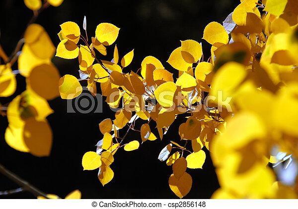 Branch of Yellow Aspen Leaves - csp2856148