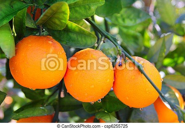 branch orange tree fruits green leaves in Spain - csp6255725