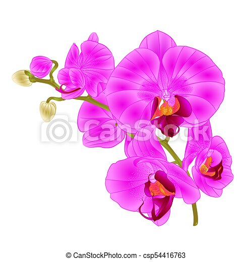 Branch Orchids Purple Tropical Plant Phalaenopsis Vector Branch