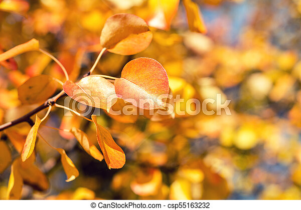Branch pear with red yellow foliage, autumn leaves on blue sky background at fall time. - csp55163232