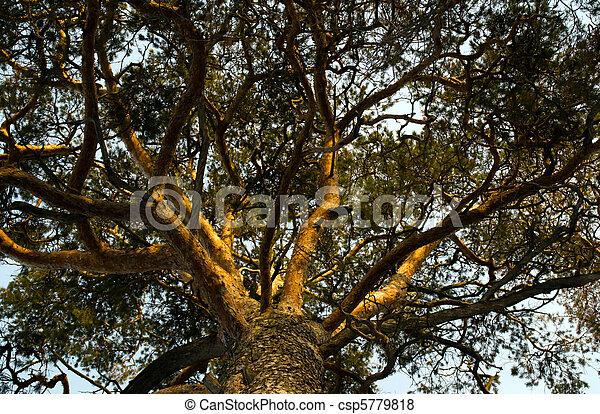 Branch pine - csp5779818