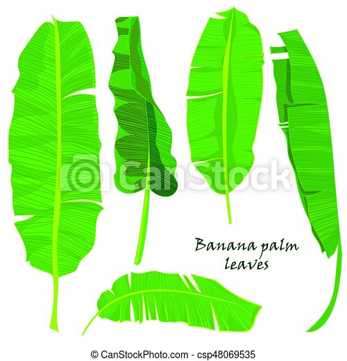 Branch Tropical Palm Banana Leaves Realistic Drawing In Flat Color Style Isolated On White