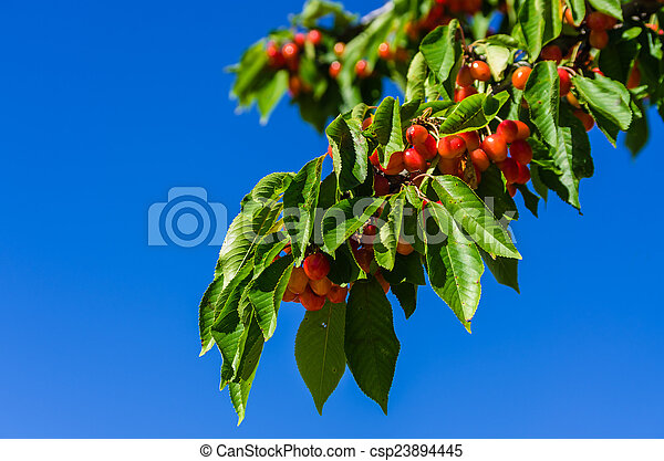 Branch with cherries - csp23894445