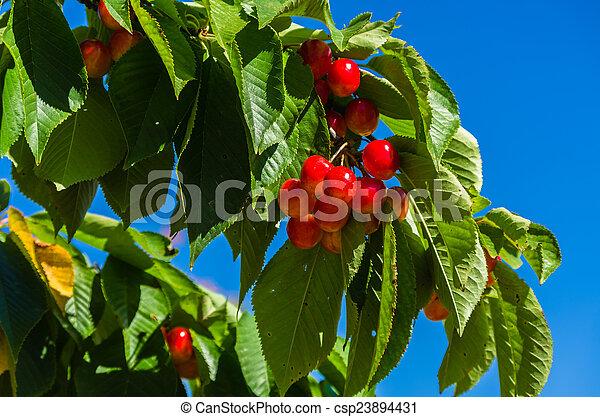 Branch with cherries - csp23894431