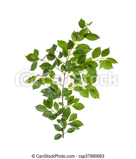 branch with green leaves - csp37990663