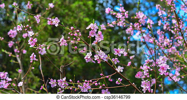 Branch with pink blooms - csp36146799