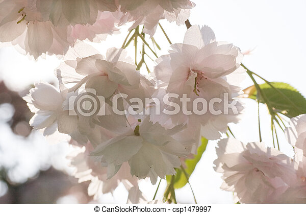 Branch with pink cherry blossom in spring - csp1479997