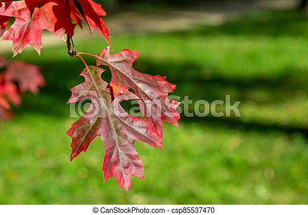 Branch with red leaves of autumn maple - csp85537470