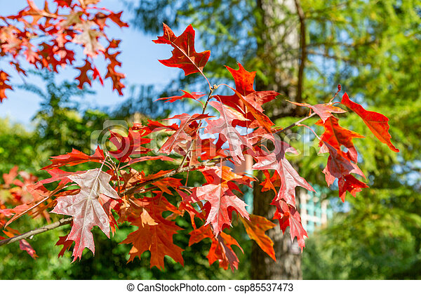 Branch with red leaves of autumn maple - csp85537473