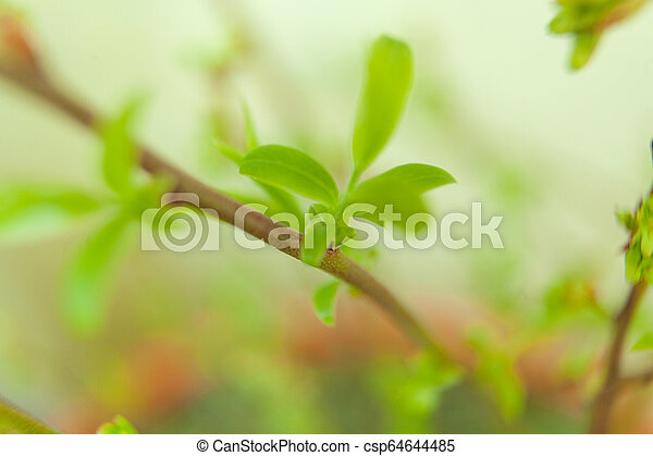branch with young green sprouts in the spring on blurred background - csp64644485