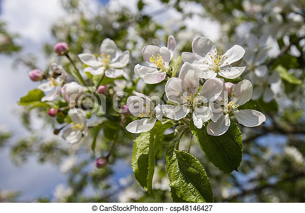 Branches of a blossoming apple tree against the blue sky - csp48146427