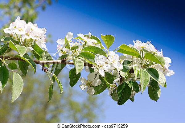 Branches of a blossoming apple-tree against the blue sky - csp9713259