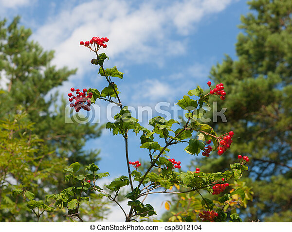 Branches of a guelder-rose - csp8012104