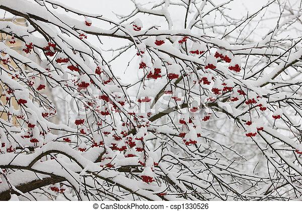 Branches of a mountain ash - csp1330526