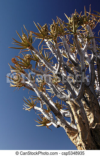 Branches of a Quiver Tree against blue sky - csp5348935