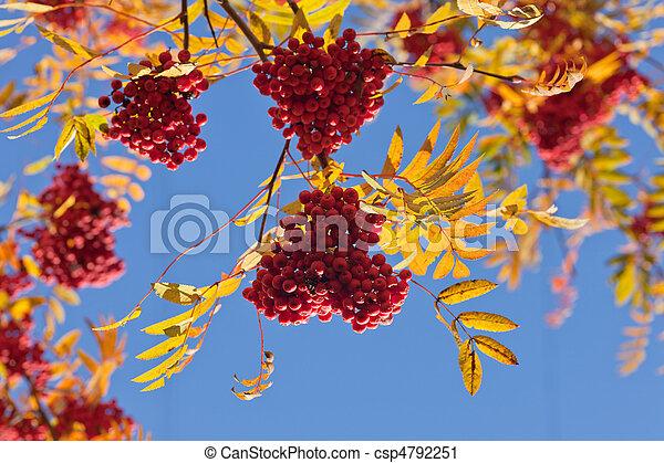 Branches of a ripe rowan tree - csp4792251