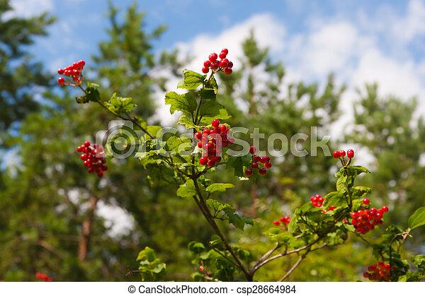Branches of a ripe viburnum - csp28664984