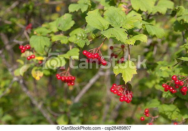 Branches of a ripe viburnum - csp28489807