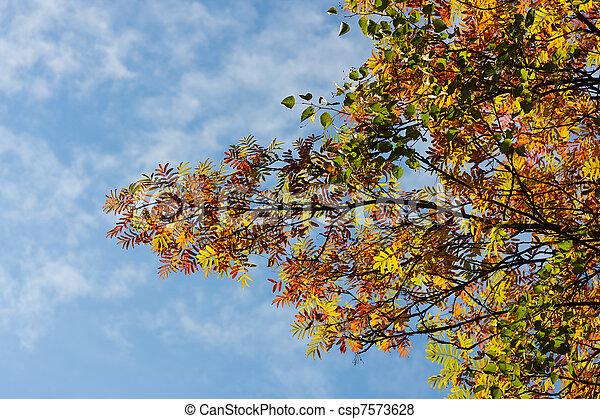 Branches of an autumn mountain ash - csp7573628