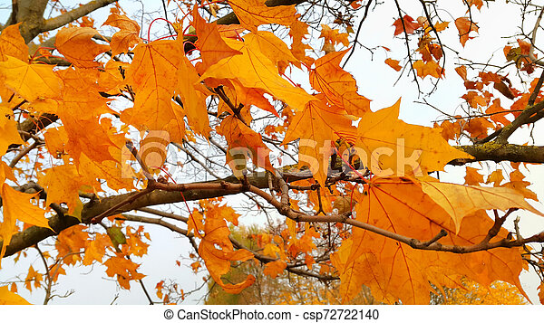 Branches of autumn maple tree with bright orange leaves - csp72722140