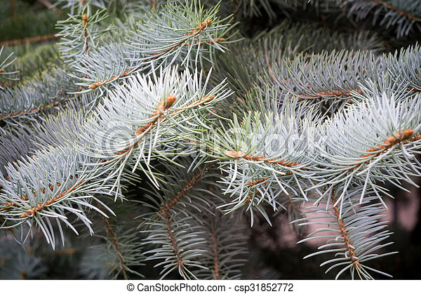 Branches of Blue Spruce - csp31852772
