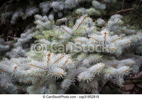 Branches of Blue Spruce - csp31852818