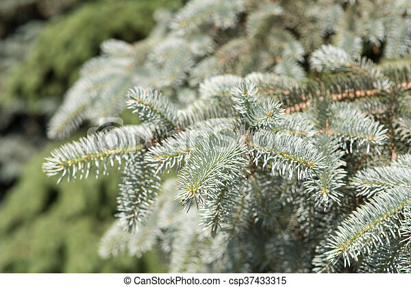 branches of blue spruce - csp37433315