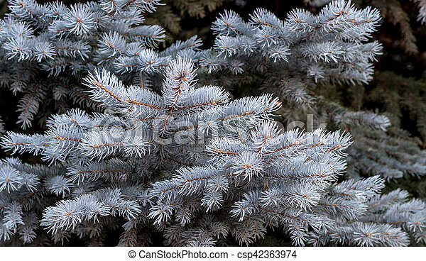 Branches of blue spruce - csp42363974